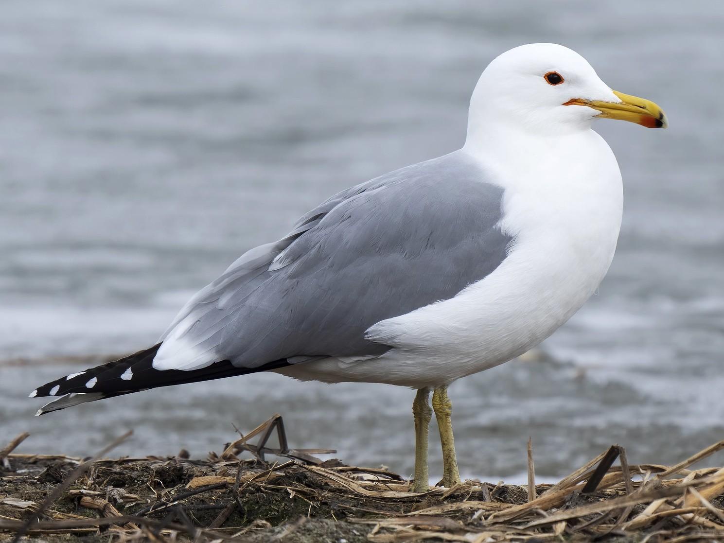 California Gull - Daniel Arndt