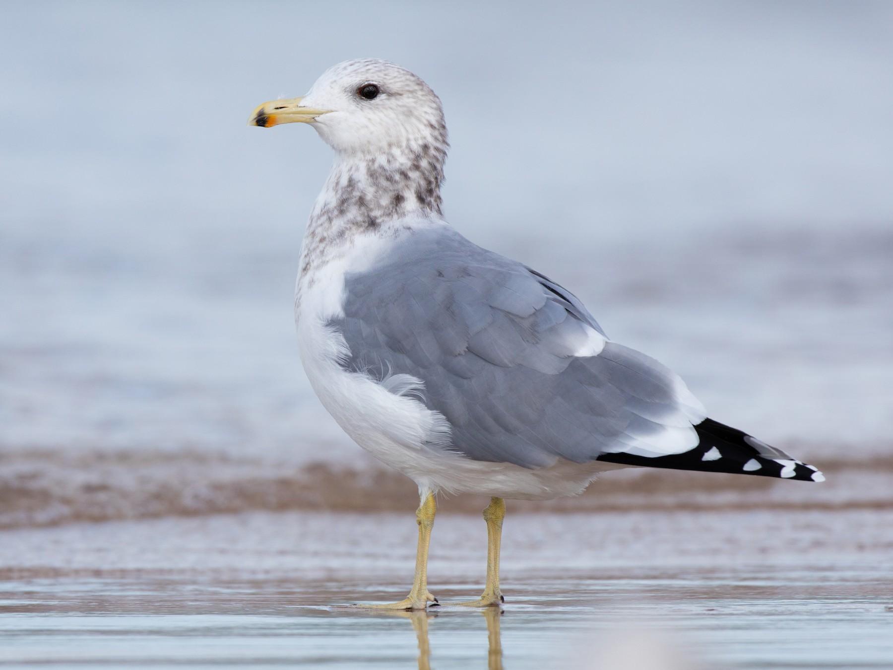 California Gull - Ryan Sanderson