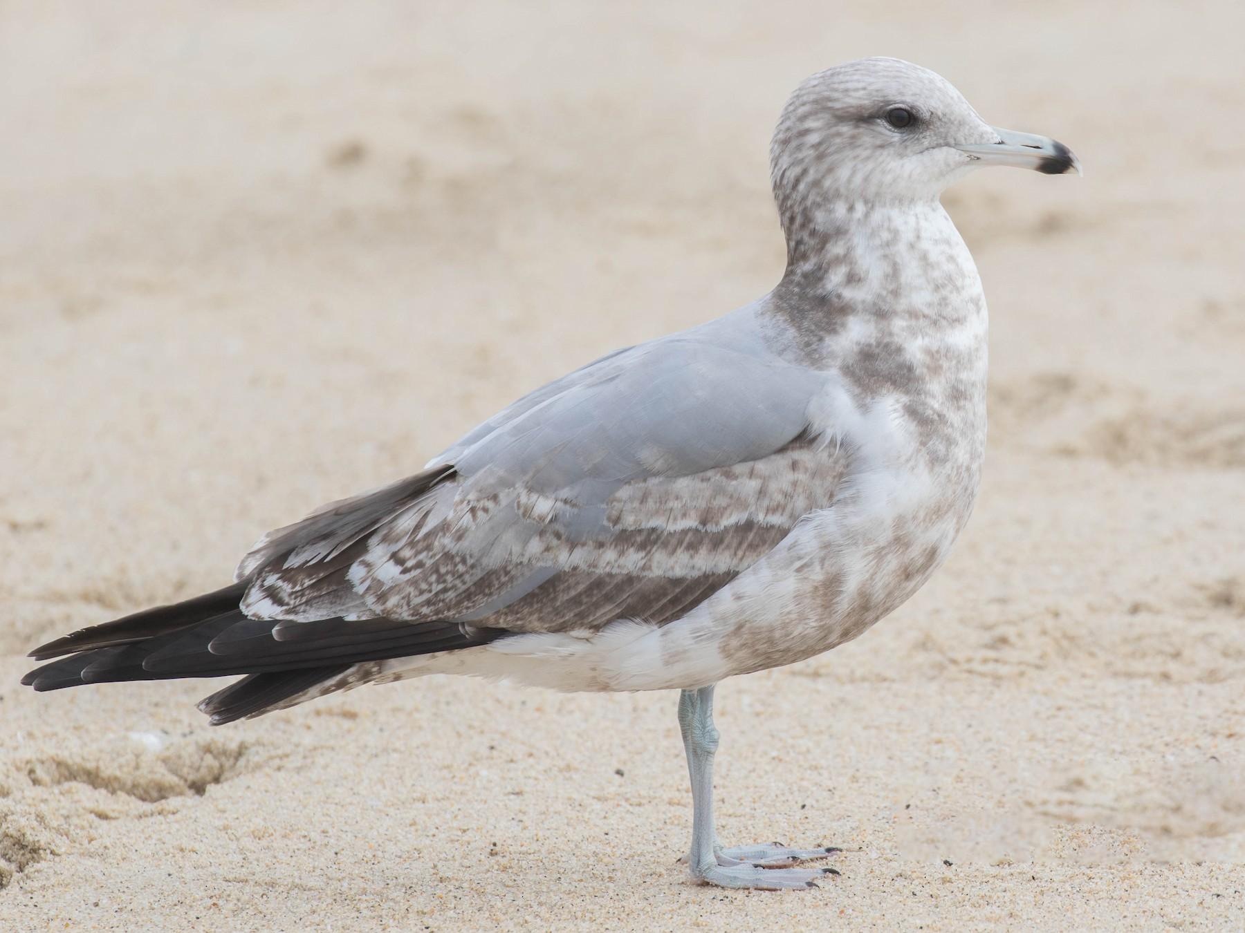 California Gull - Jim Hully