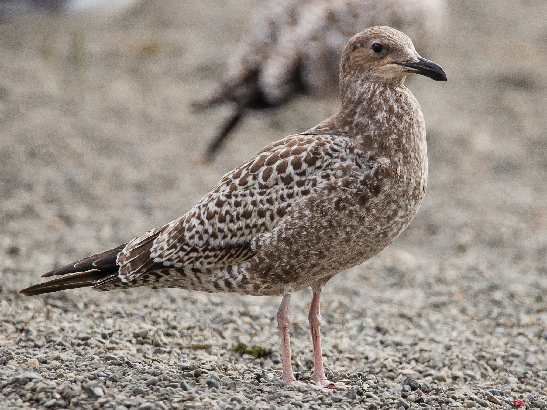 California Gull - Mason Maron