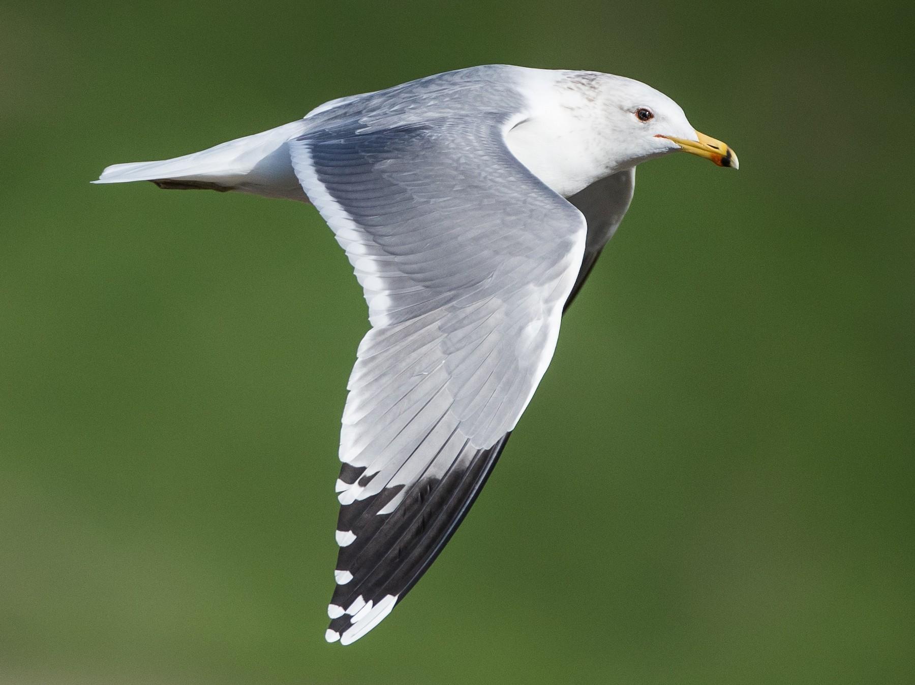 California Gull - Blake Matheson