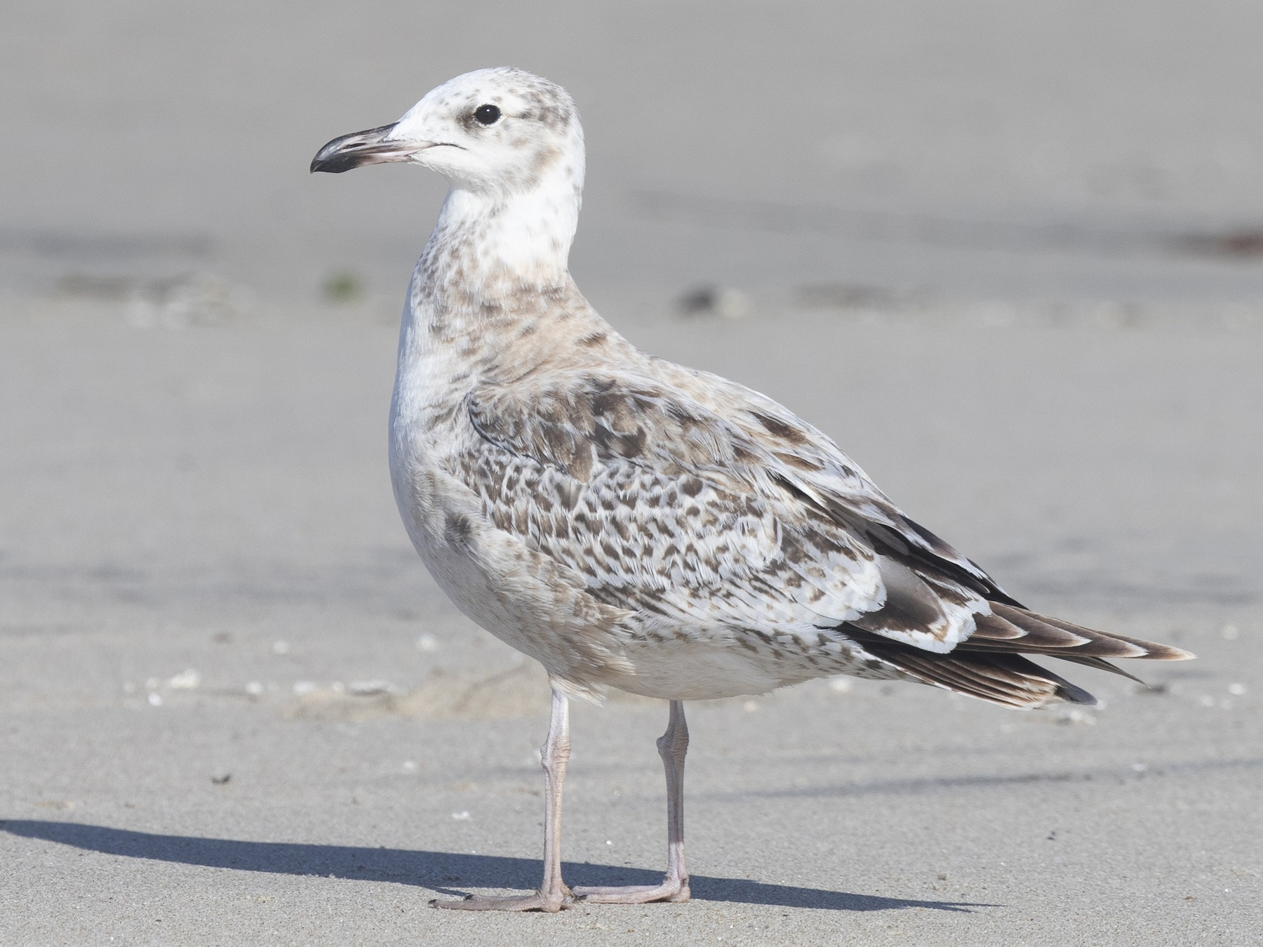 California Gull - Brian Sullivan