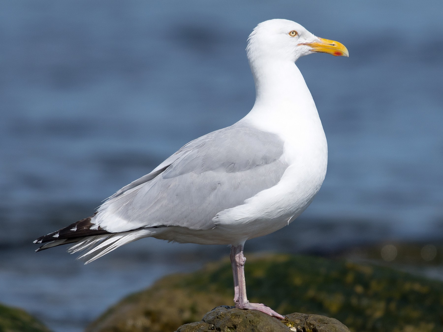 Herring Gull - Simon Boivin