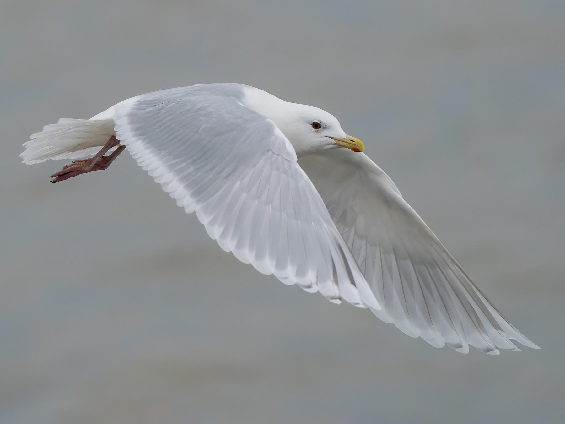Iceland Gull - Ryan Sanderson