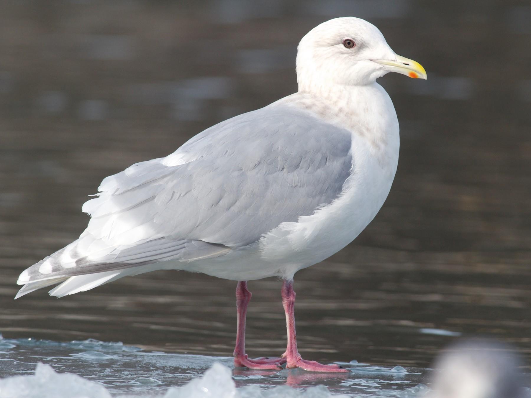 Iceland Gull - Amanda Guercio
