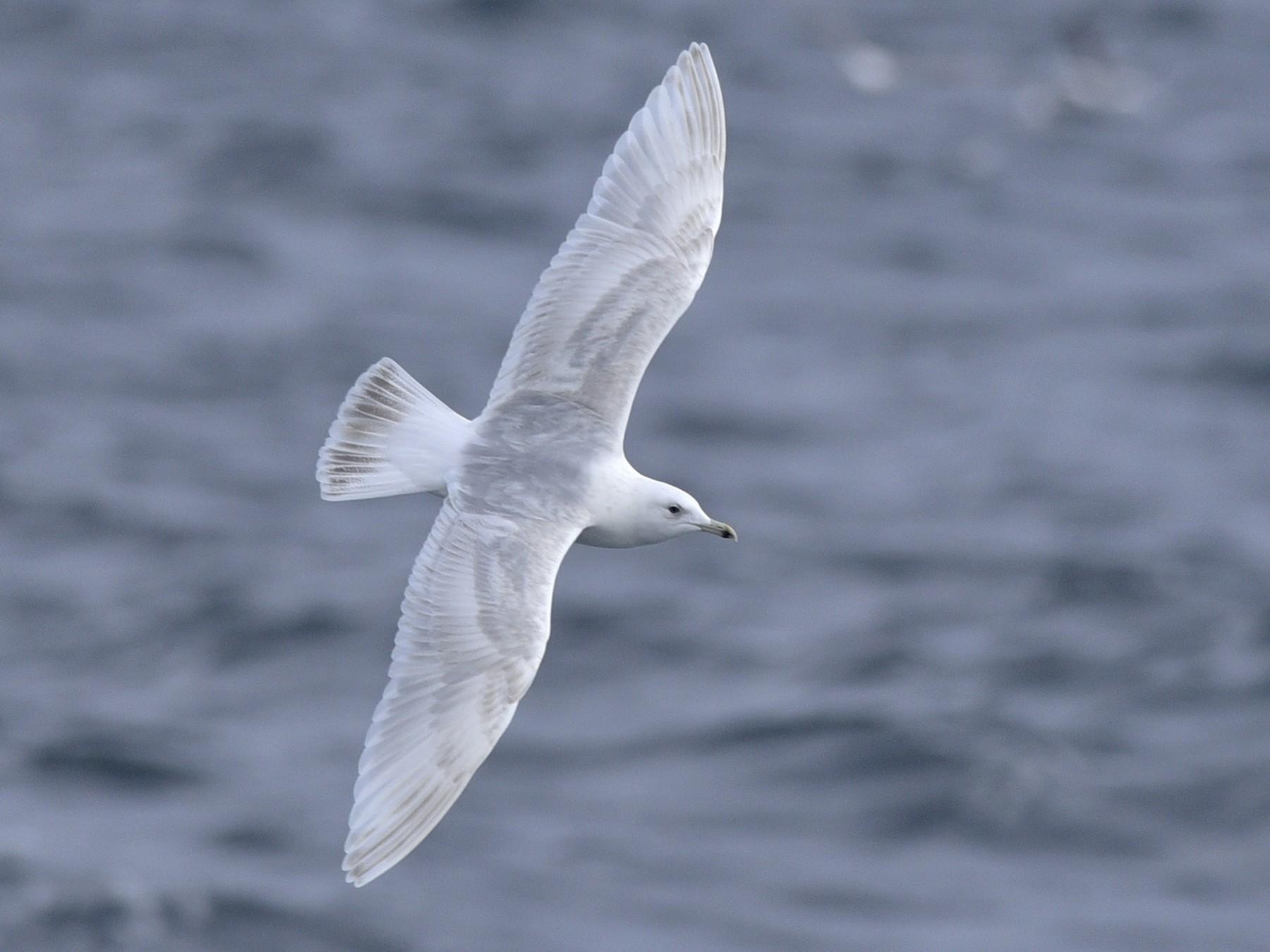 Iceland Gull - Daniel Irons