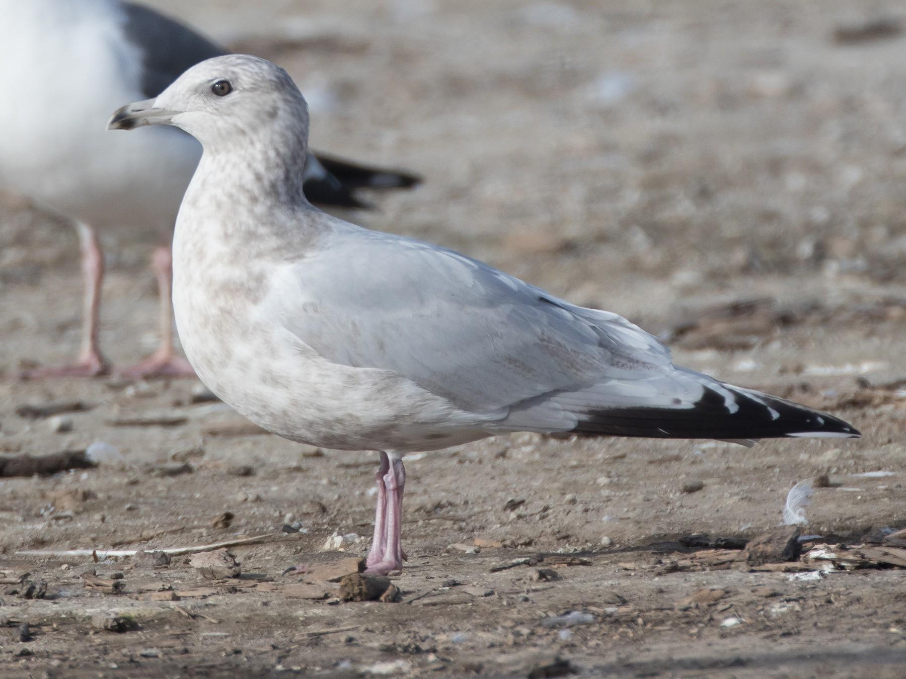 Iceland Gull - Blake Matheson