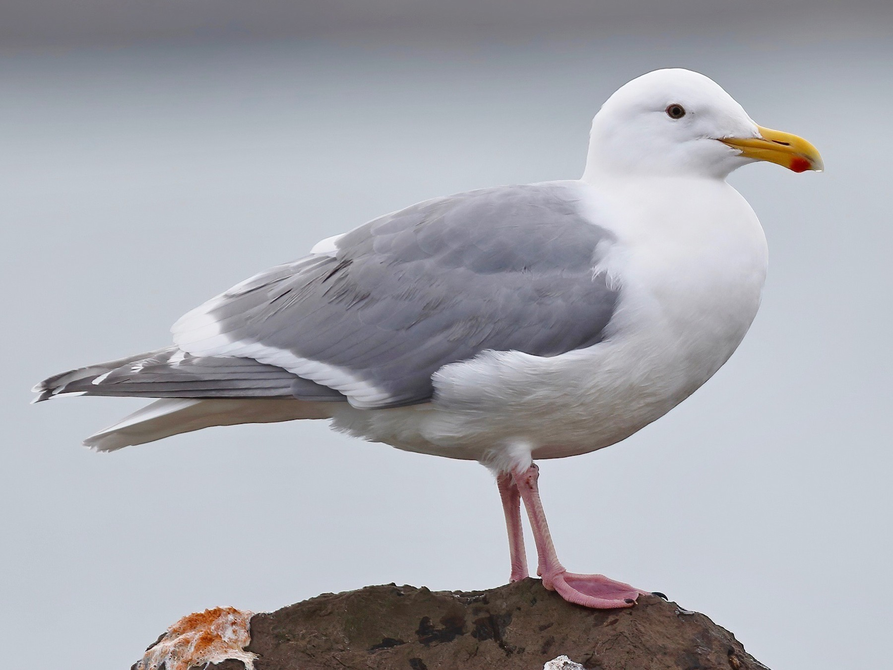 Glaucous-winged Gull - Timo Mitzen