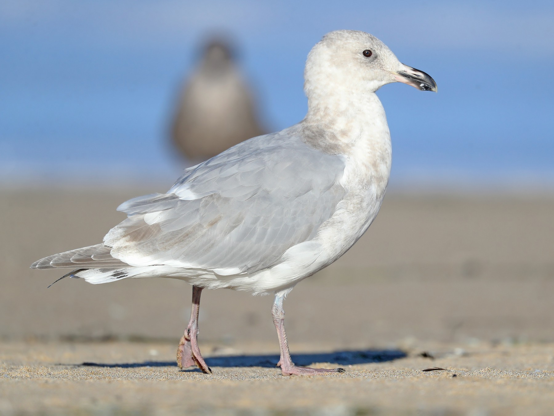 Glaucous-winged Gull - Matt Davis