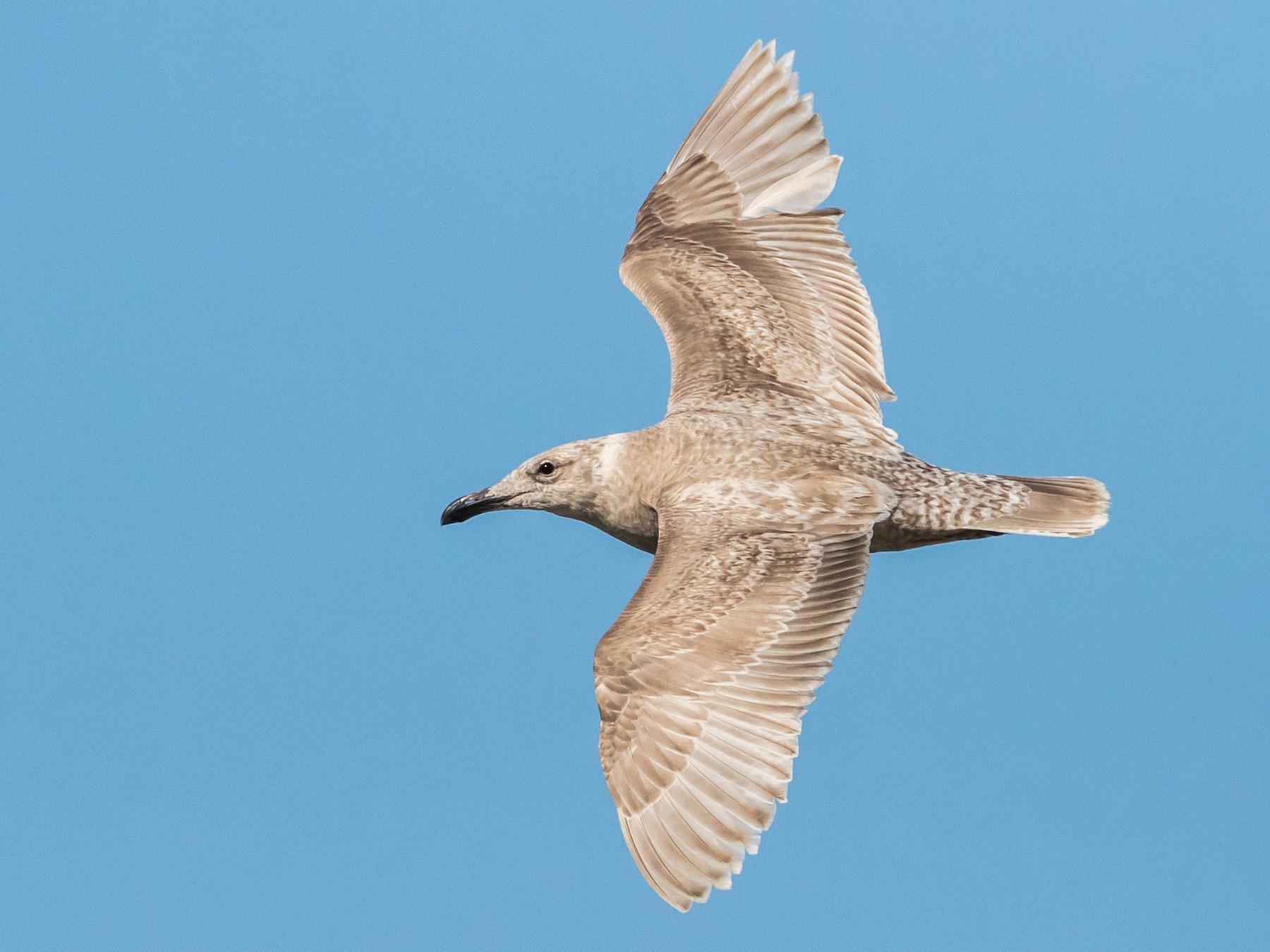 Glaucous-winged Gull - Chezy Yusuf