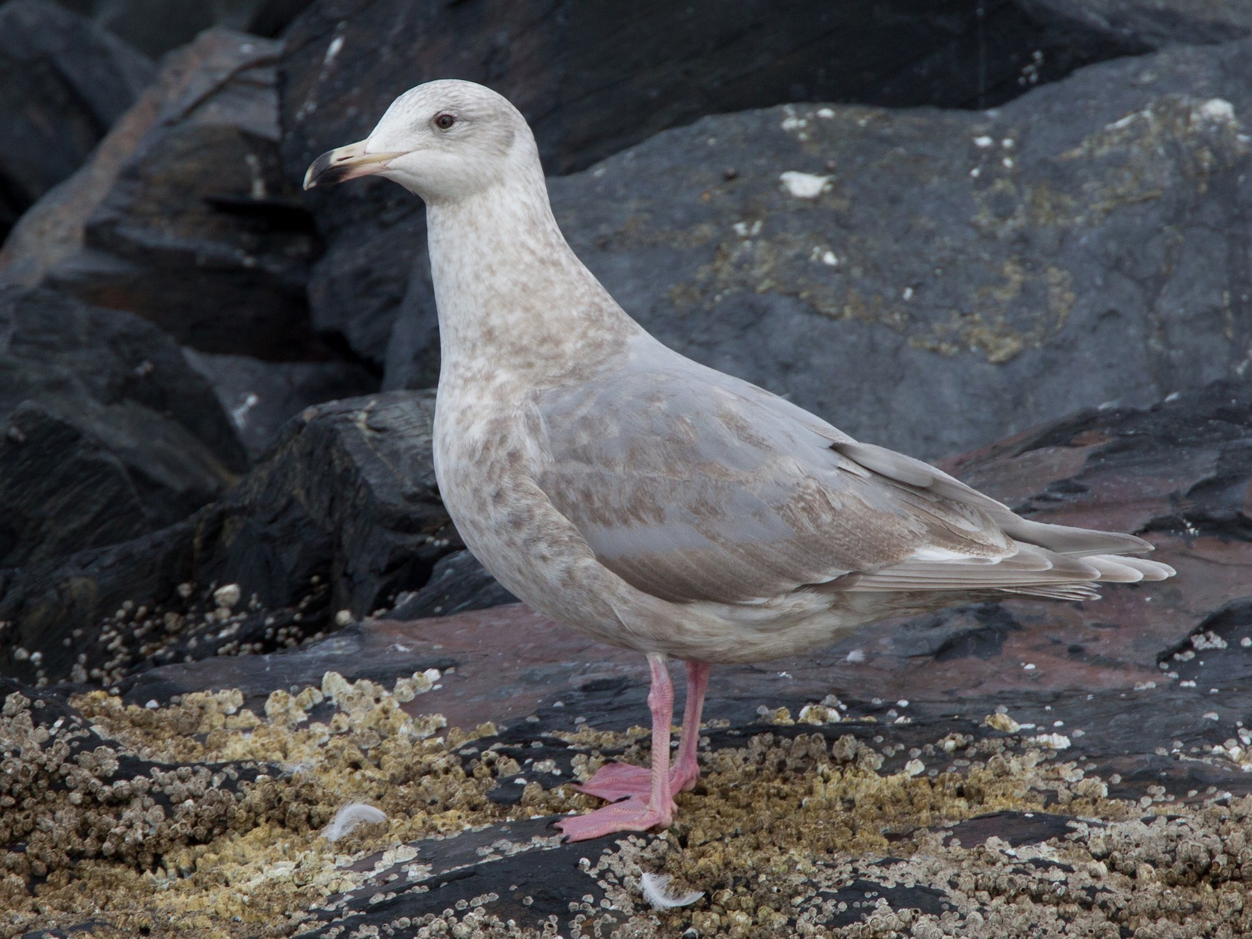 Glaucous-winged Gull - Chris Wood
