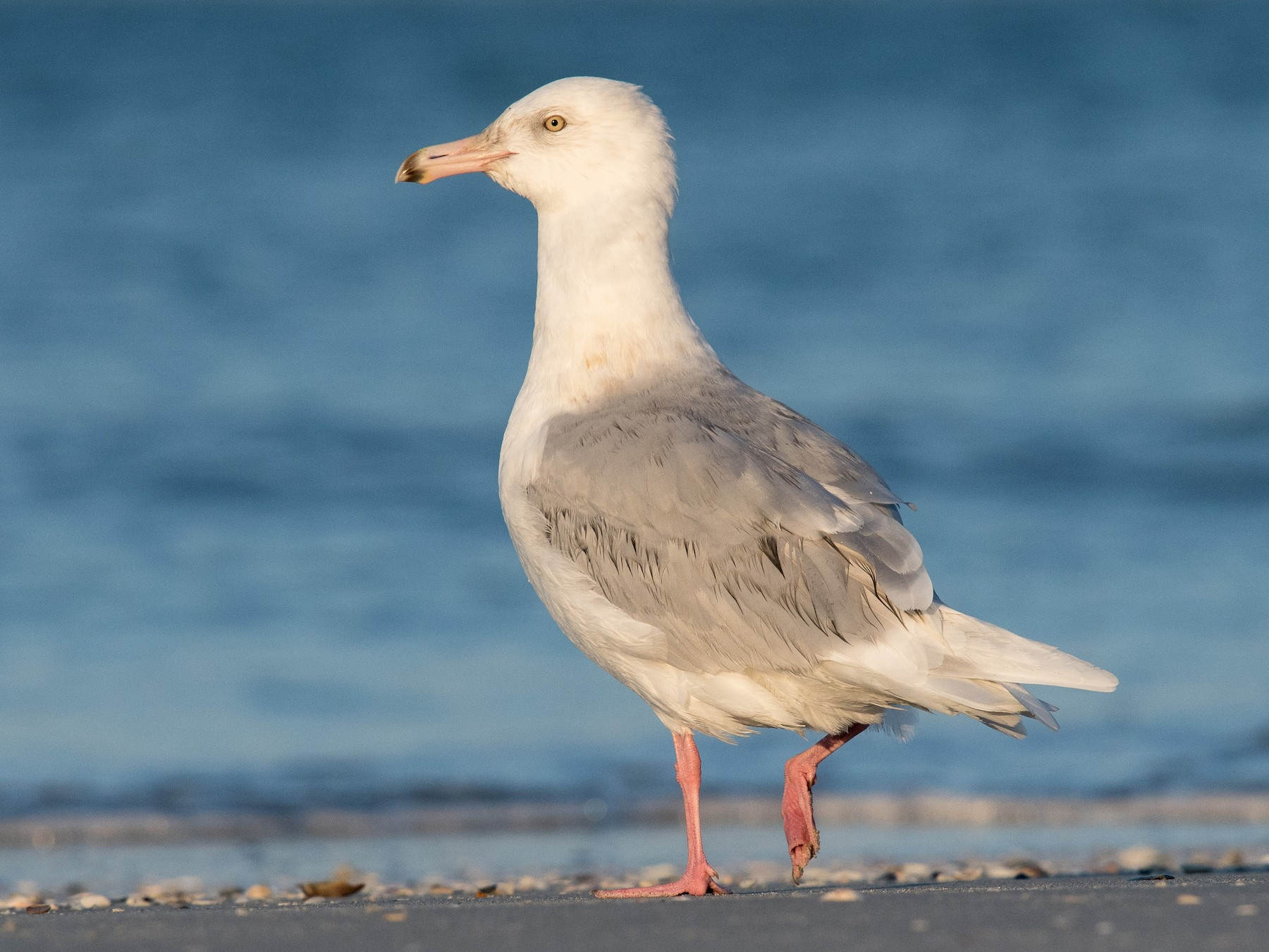 Glaucous Gull - Melissa James