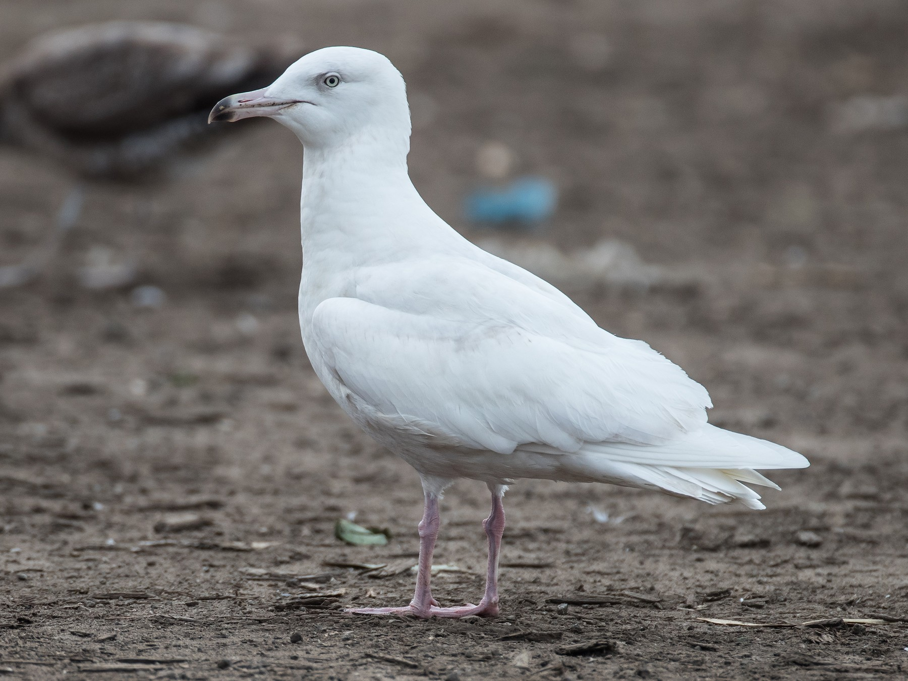 Glaucous Gull - Blake Matheson