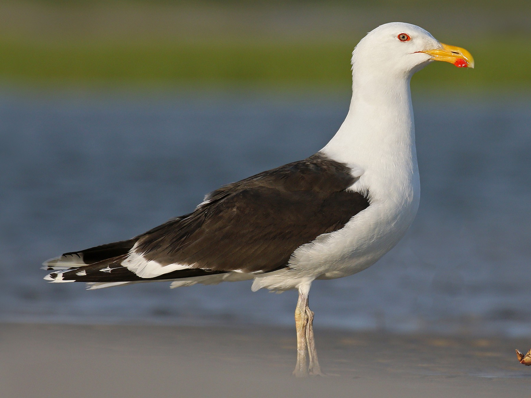 Great Black-backed Gull - Ryan Schain