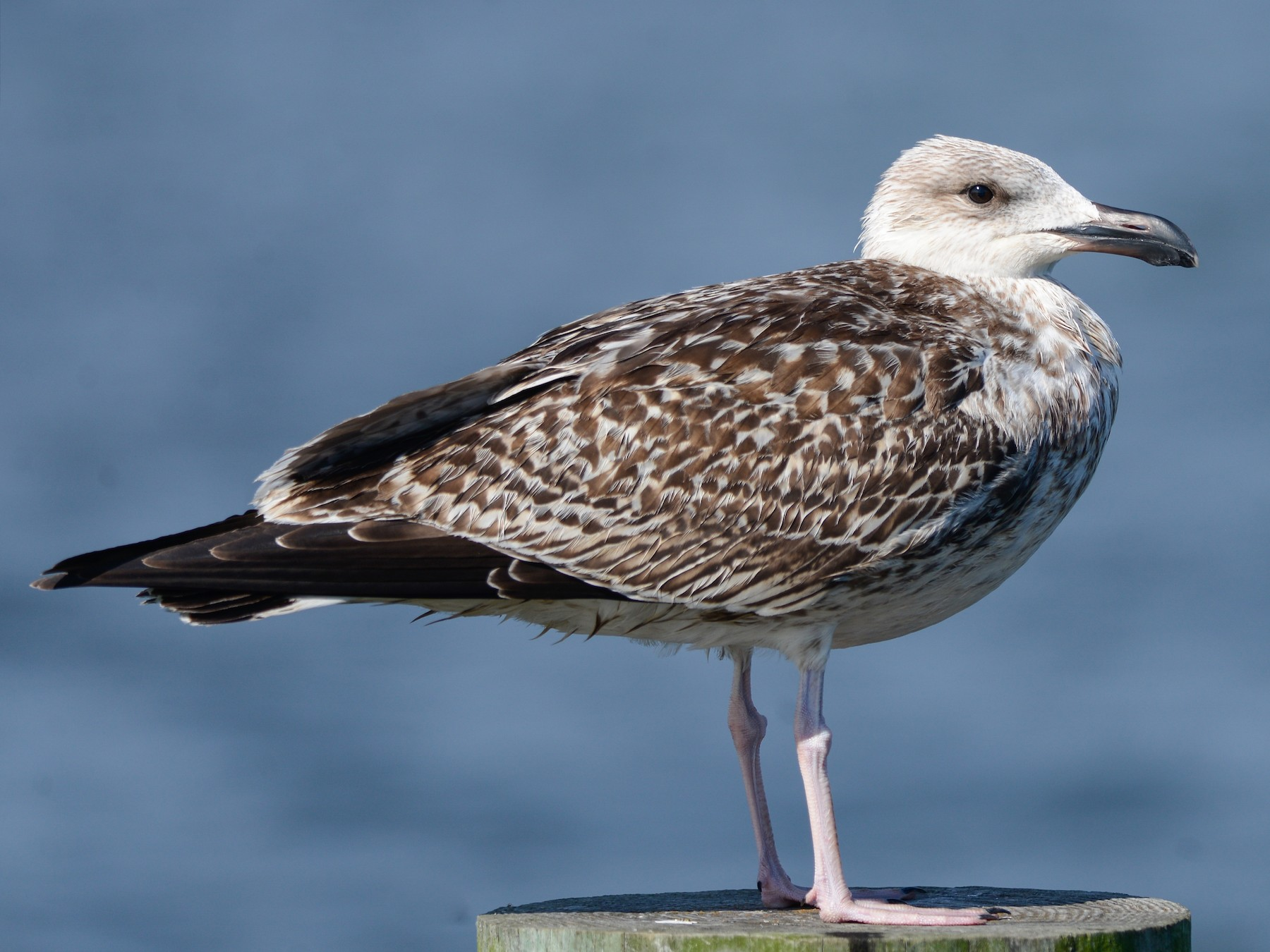 Great Black-backed Gull - Daniel Irons
