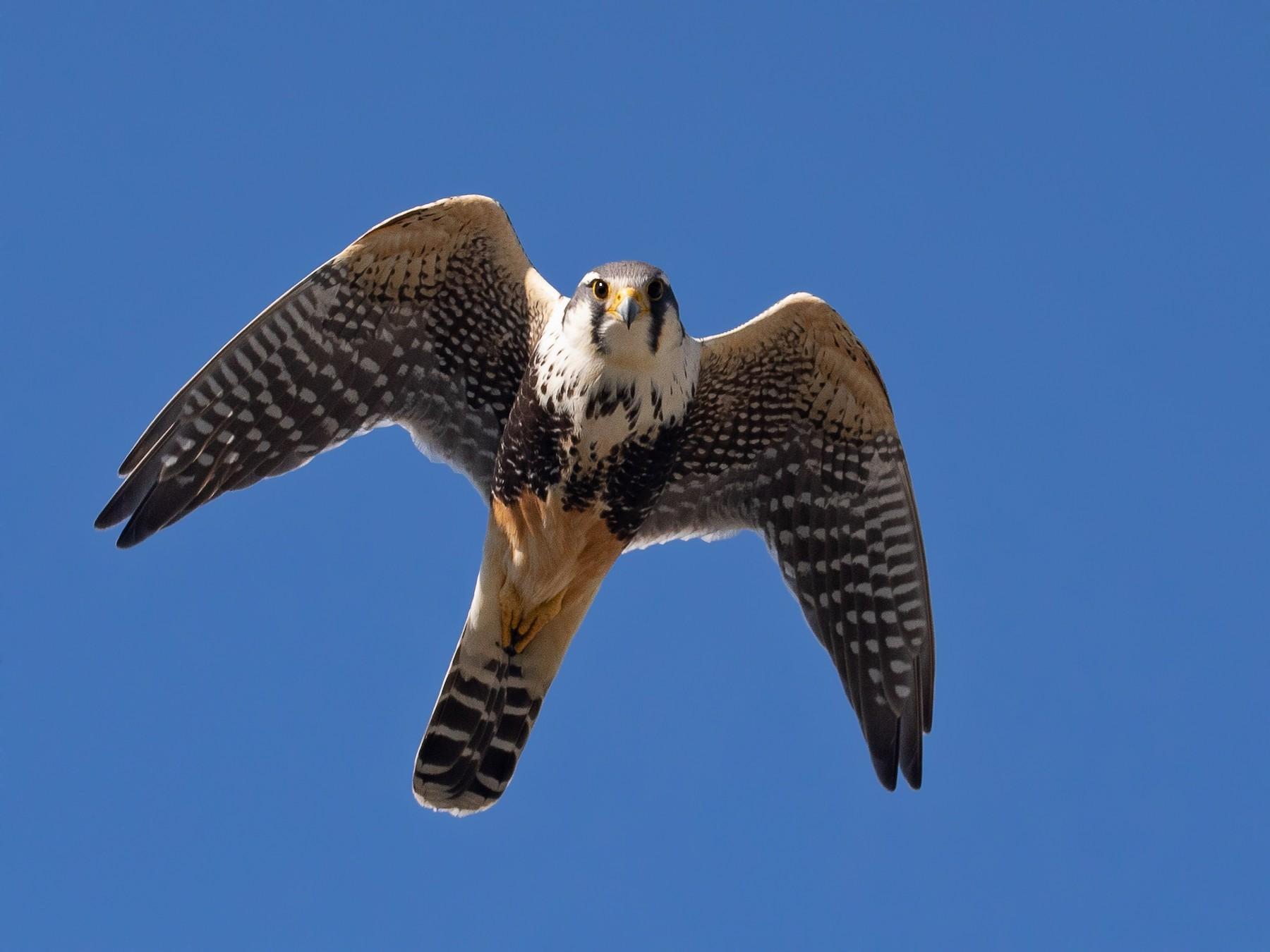 Aplomado Falcon - Santiago Imberti