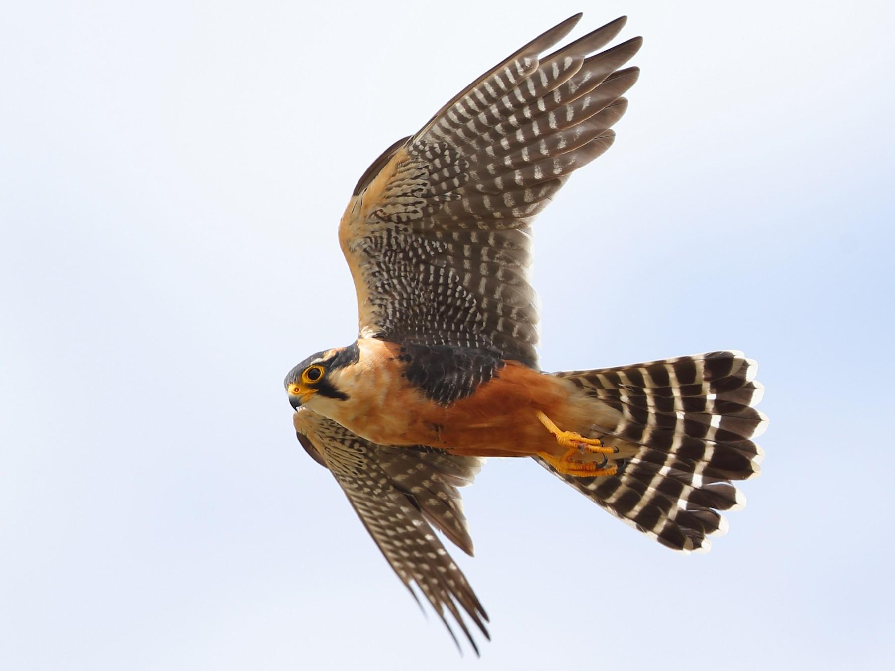 Aplomado Falcon - Jon Irvine