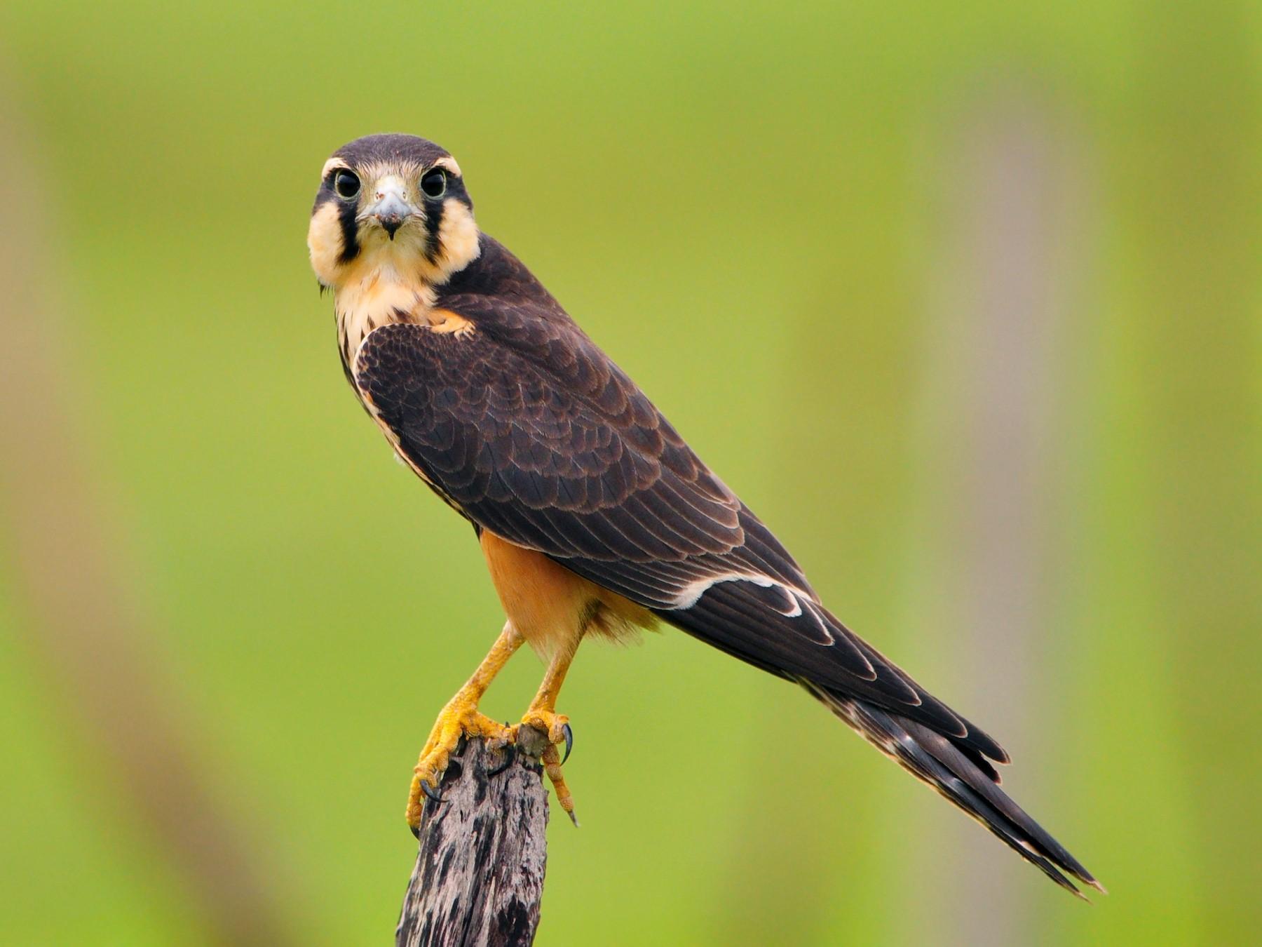 Aplomado Falcon - Gualberto Becerra