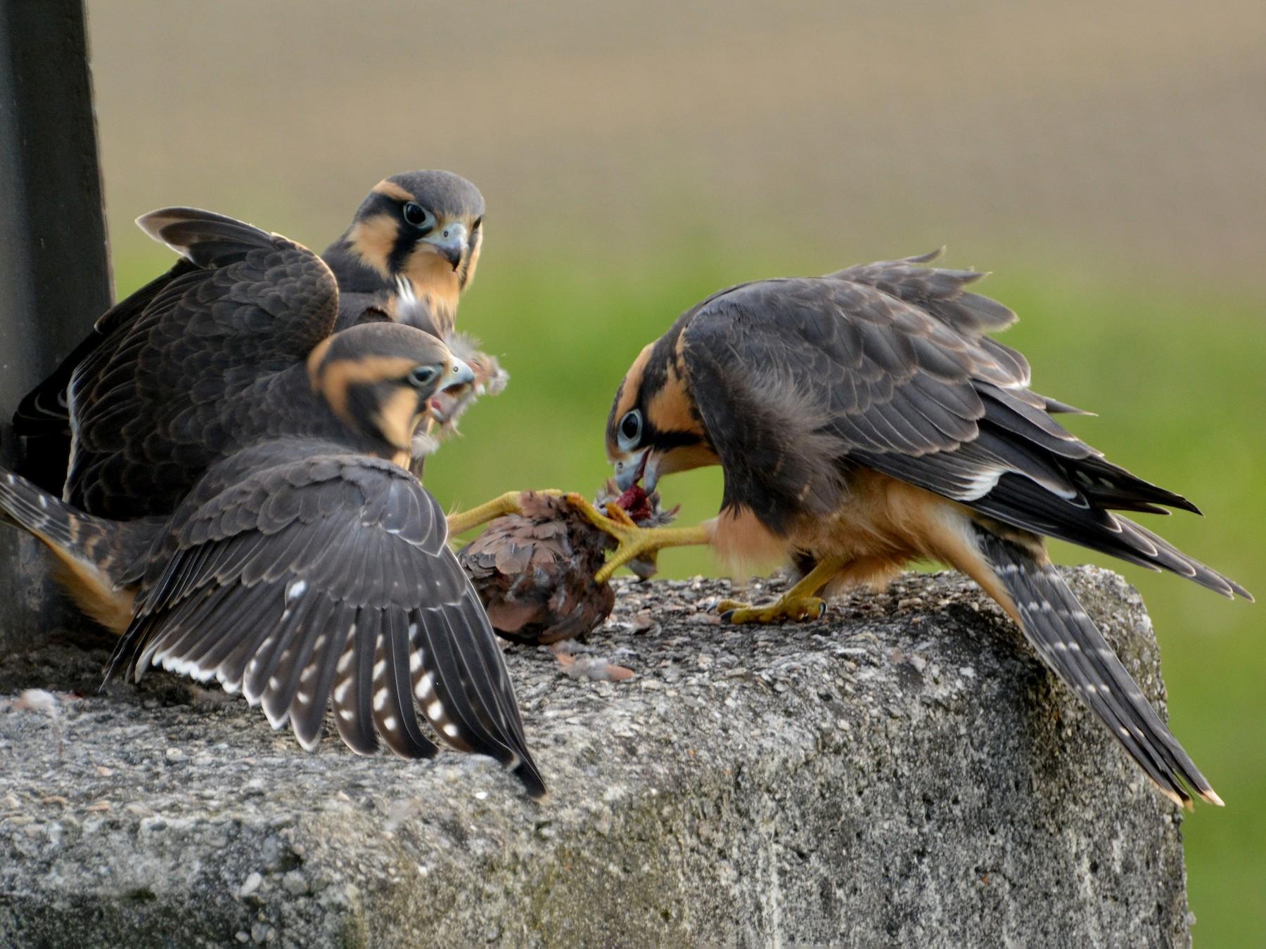 Aplomado Falcon - Oliver Prioli