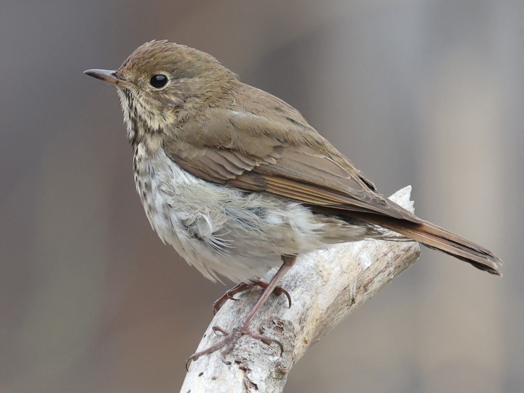Hermit Thrush - Paul Fenwick