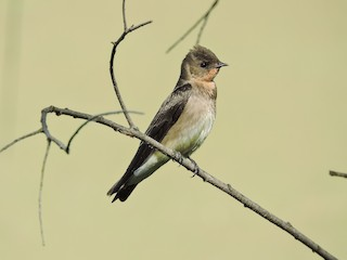 - Southern Rough-winged Swallow