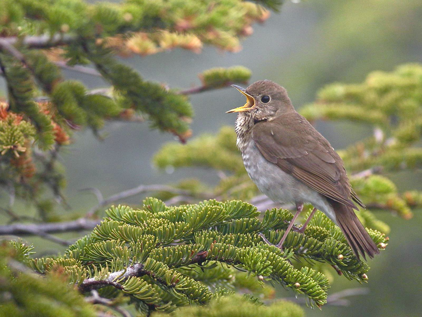 Bicknell's Thrush - Chris Brown