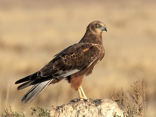 - Eurasian Marsh-Harrier