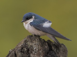 - White-winged Swallow