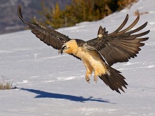 - Bearded Vulture