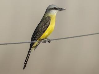 - White-throated Kingbird