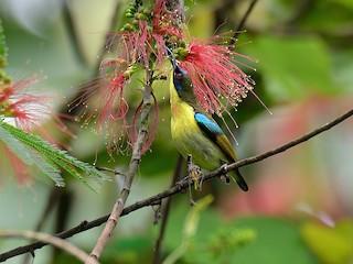 - Metallic-winged Sunbird