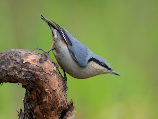 - Chestnut-vented Nuthatch