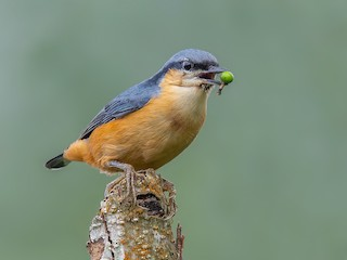 - White-tailed Nuthatch