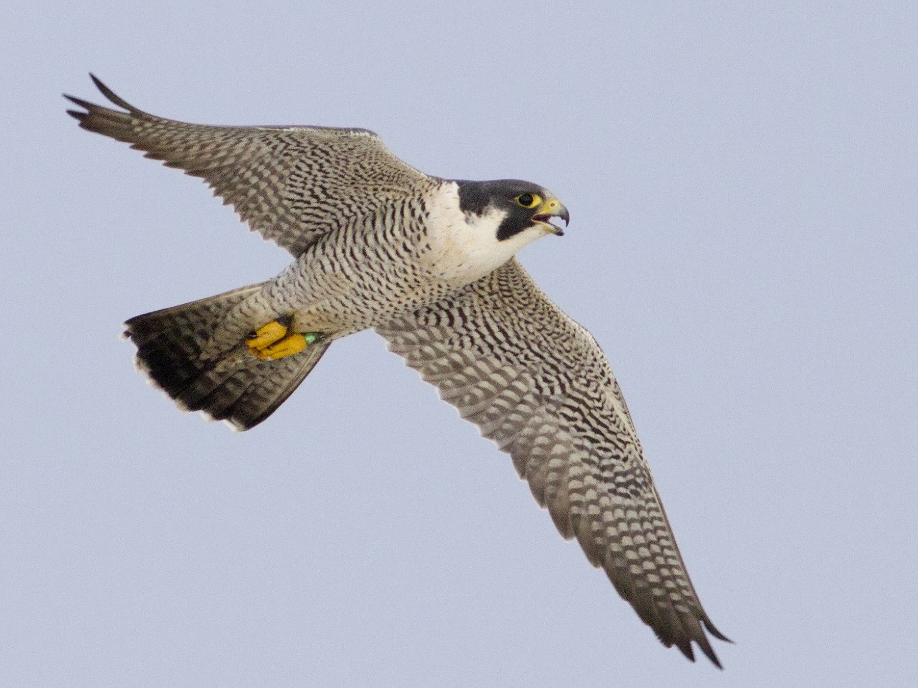 Peregrine Falcon - Samuel Paul Galick