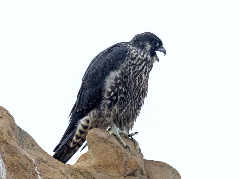 Peregrine Falcon - Ken Chamberlain