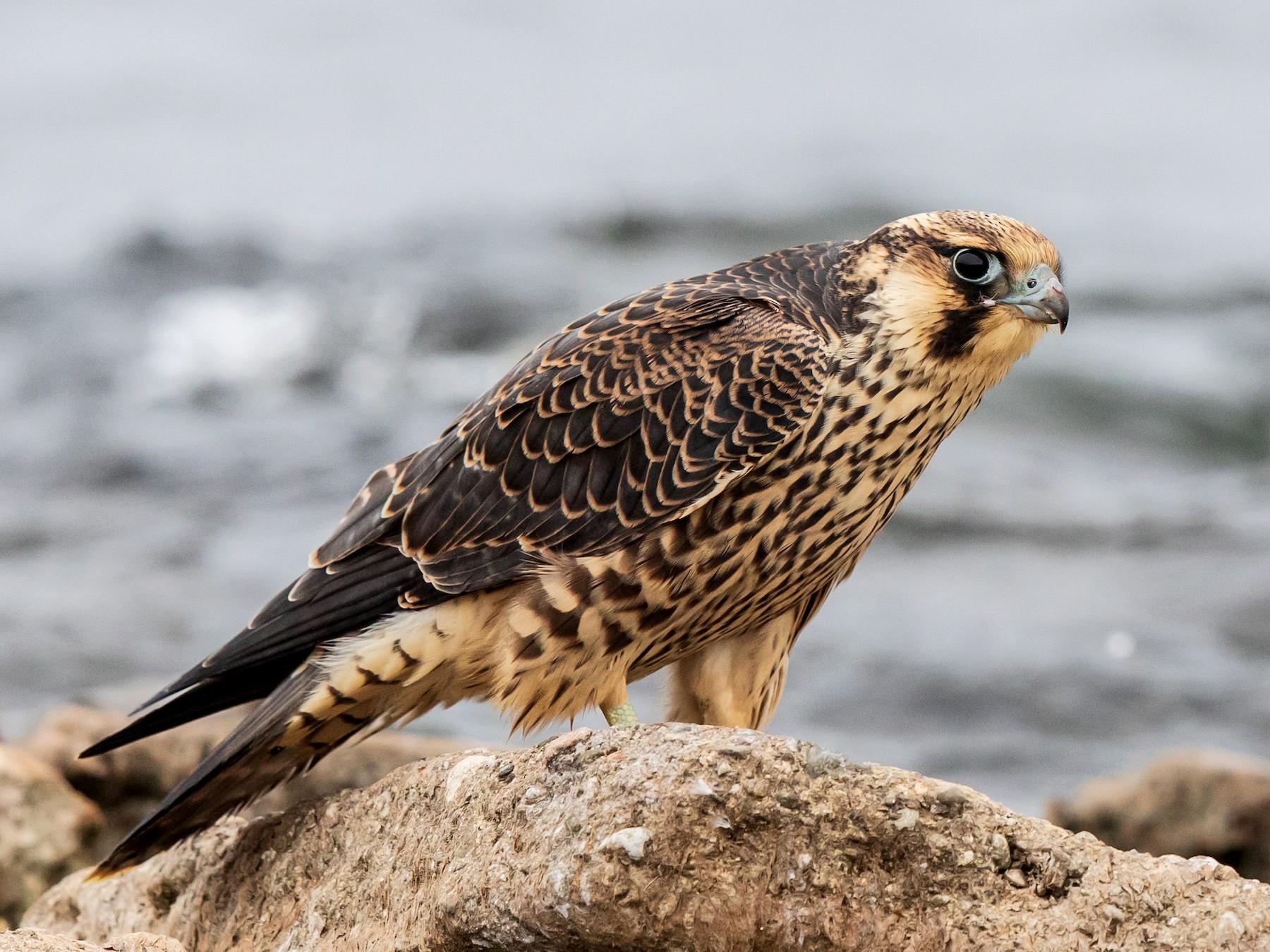 Peregrine Falcon - Brian Stahls