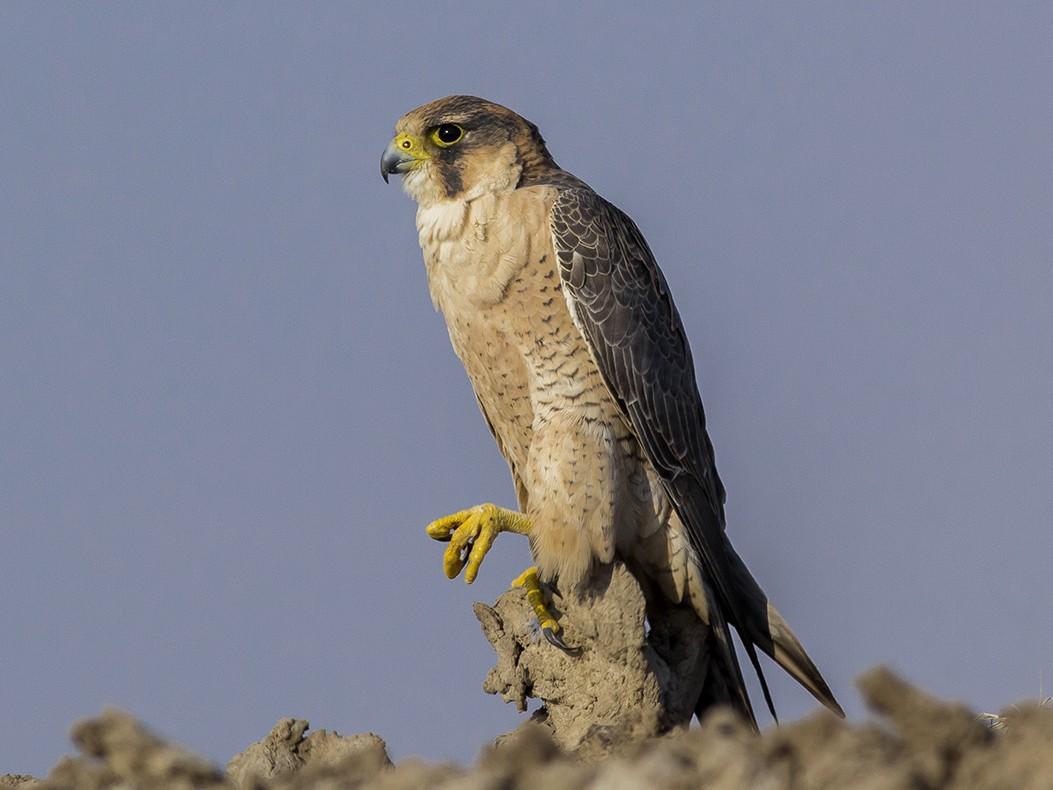 Peregrine Falcon - Soar Excursions