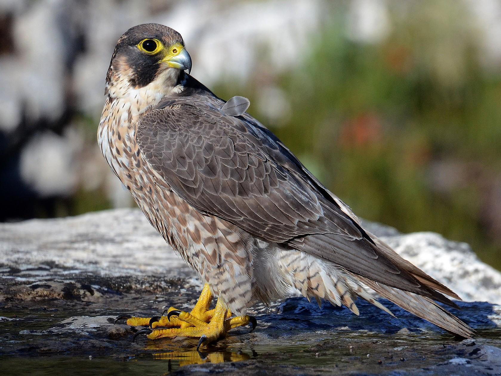 Peregrine Falcon - Juan José  Bazan Hiraldo