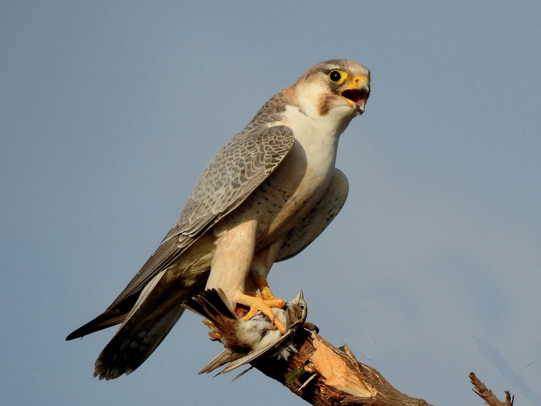 Peregrine Falcon - Sachin  Main