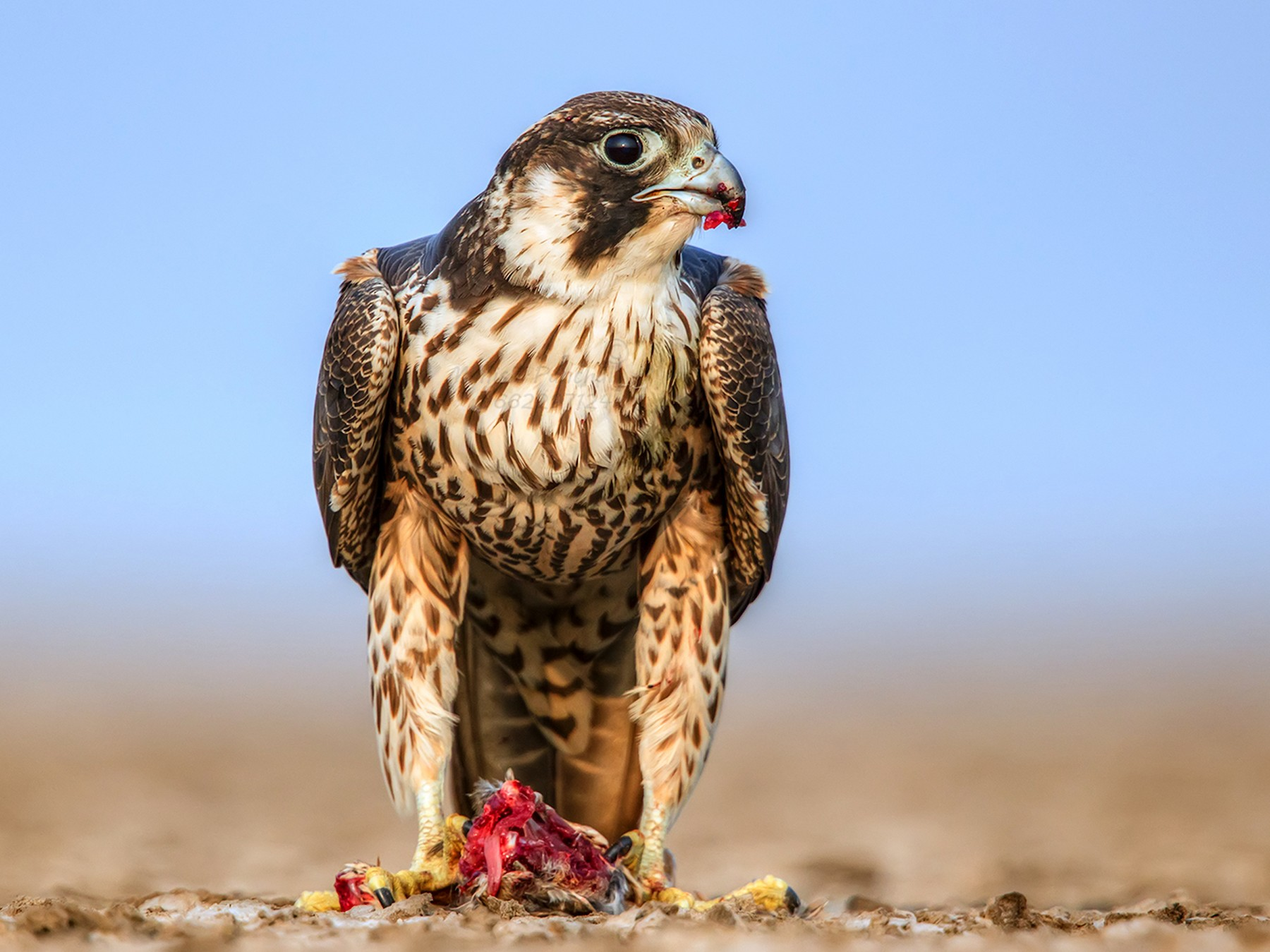 Peregrine Falcon - Manish Panchal