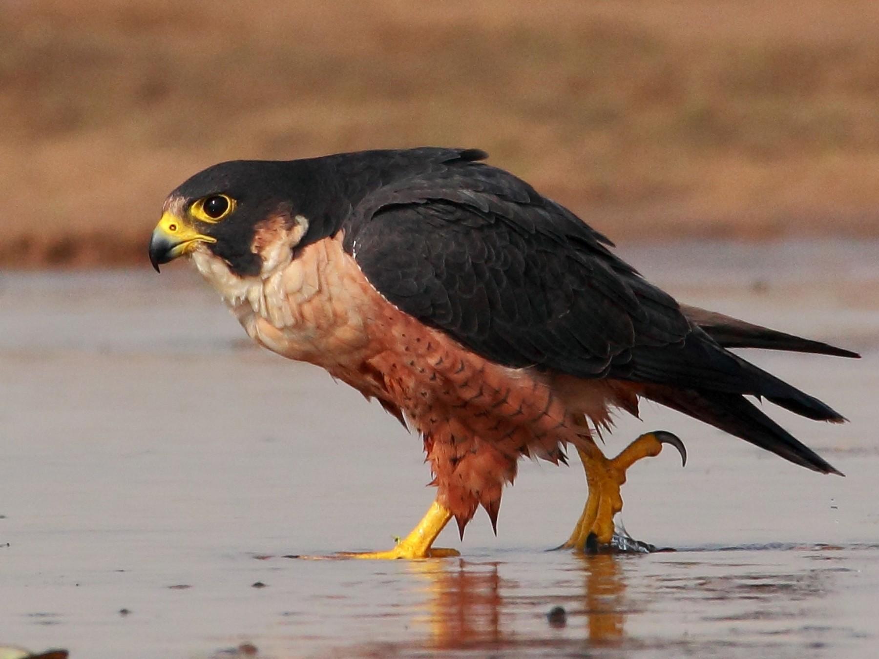 Peregrine Falcon - SANDIPAN GHOSH