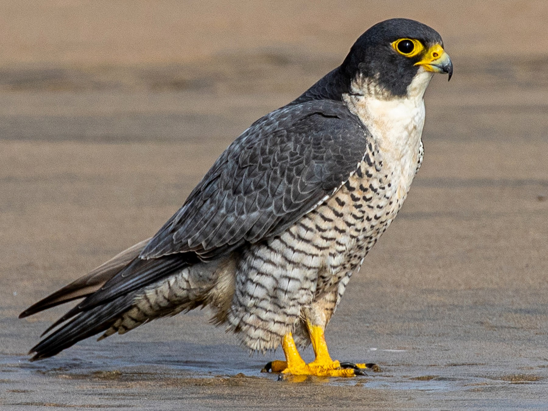 Peregrine Falcon - Joshua Stacy