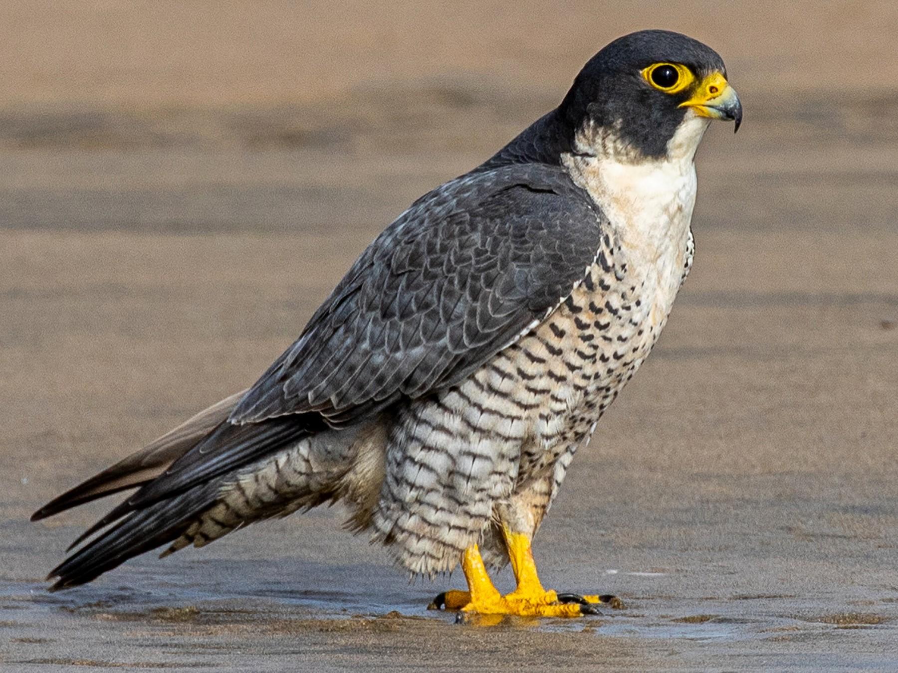Peregrine Falcon - Joshua Stacy
