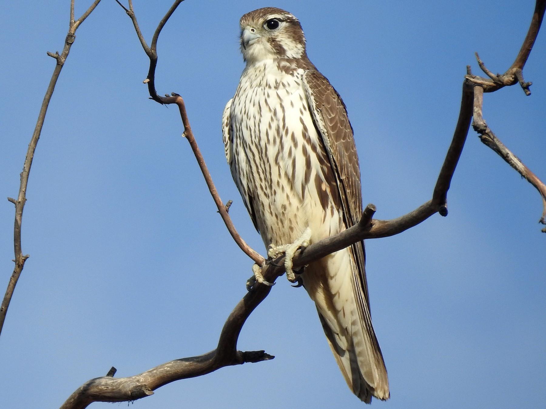 Prairie Falcon - Kimball Garrett