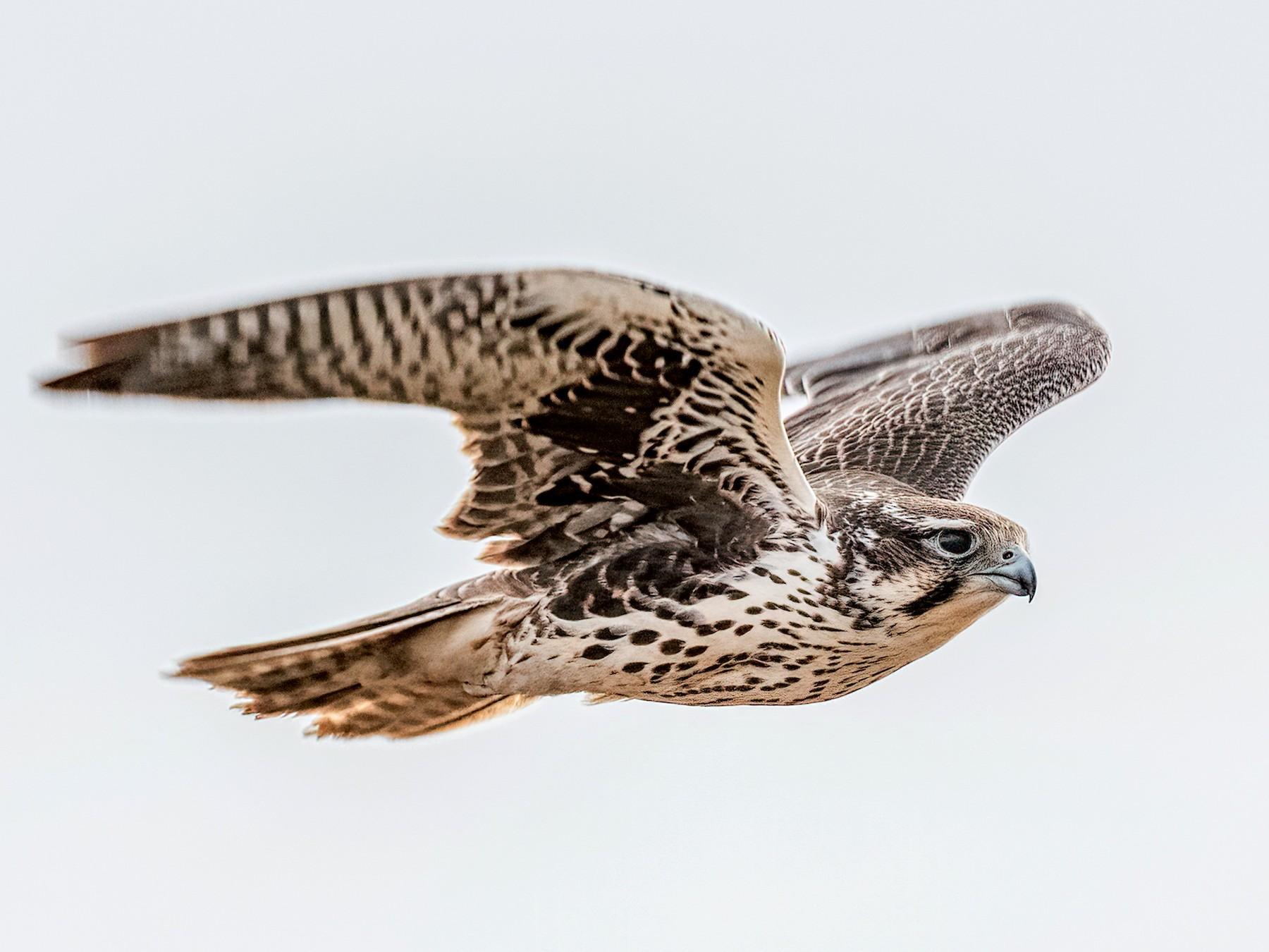 Prairie Falcon - Bob Bowhay