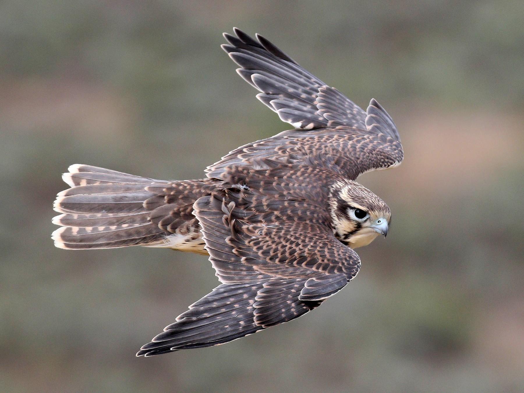 Prairie Falcon - Alex Lamoreaux