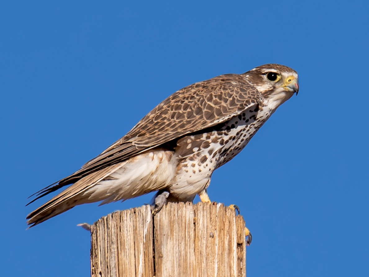 Prairie Falcon - Chris S. Wood