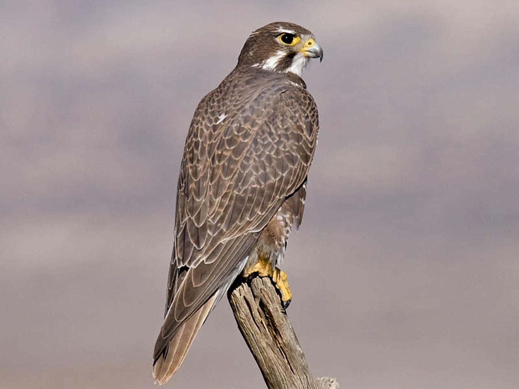 Prairie Falcon - Greg Gillson