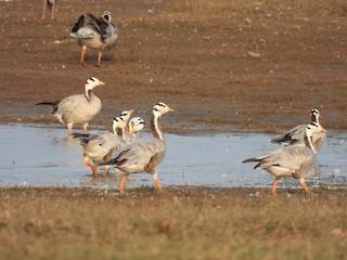 Bar-headed Goose, ML303625341