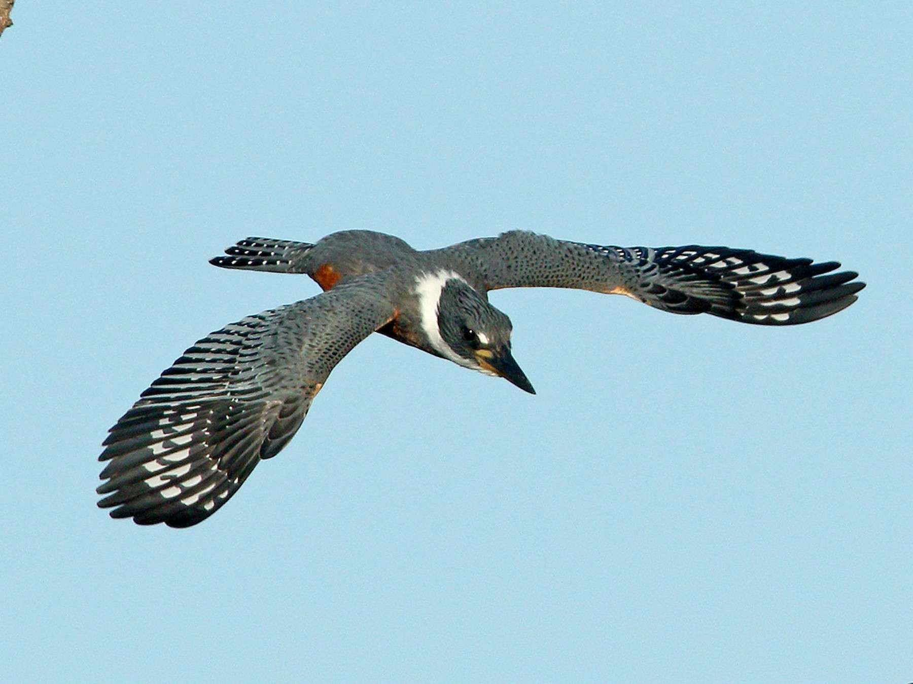 Ringed Kingfisher - Martjan Lammertink
